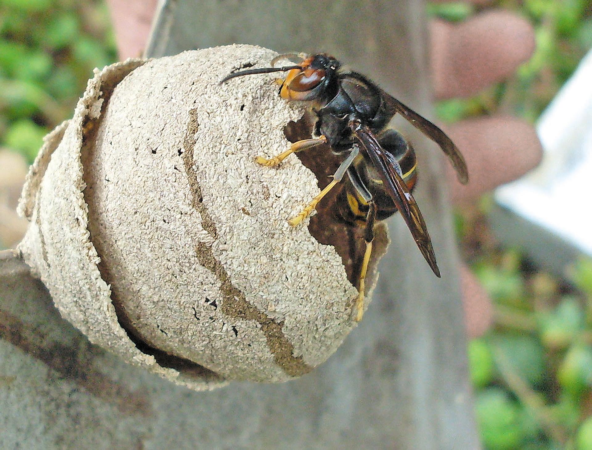 Lutte contre la prolif ration du frelon asiatique - Petit nid de frelon ...